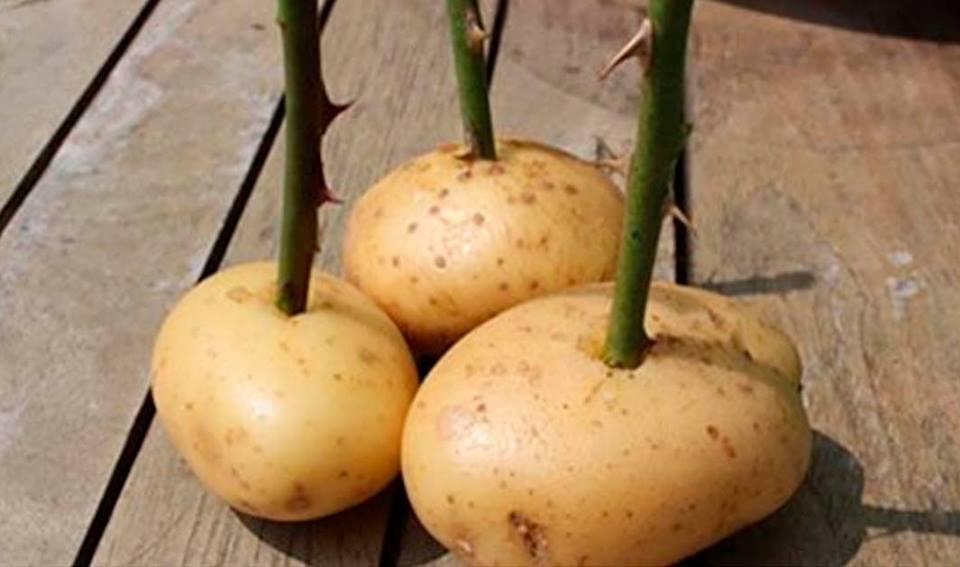 Pianta delle rose nelle patate ed ecco cosa accade video - Cosa si intende per prima casa ...